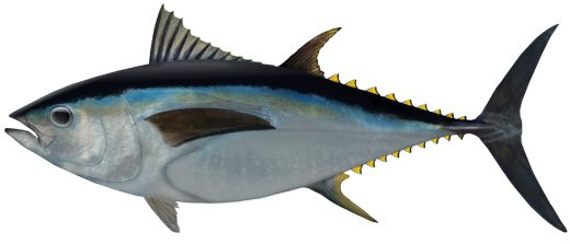 Big eye tuna